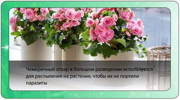 Чемеричный отвар для растений